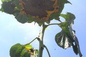 Sonnenblume wächst in den Himmel